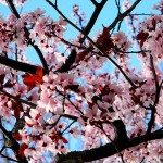cambridge_ma_boston_usa_pink_light_spring_flowers_bloom_blossom_beautiful_tree_branch_1