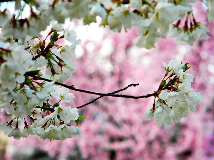 cambridge_ma_boston_usa_pink_light_spring_flowers_bloom_blossom_beautiful_tree_branch_white_focus