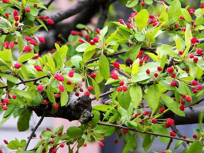 cambridge_ma_boston_usa_red_small_tiny_spring_flowers_bloom_blossom_beautiful_tree
