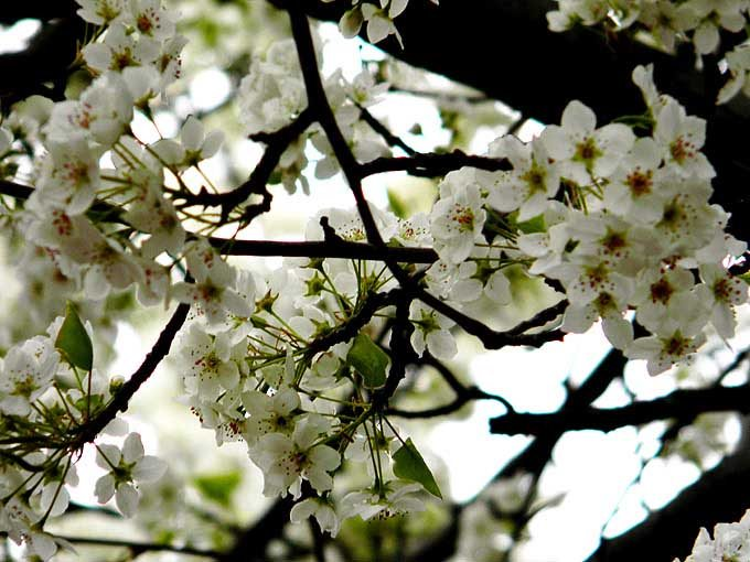 cambridge_ma_boston_usa_white_spring_flowers_bloom_blossom_beautiful_tree