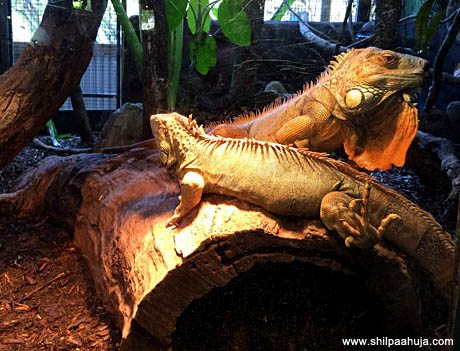 lizard_exotic_cairns_reptile_tropical_zoo_queensland_australia_tourism_trip_travel_planning_things_to_do_activities_how_to