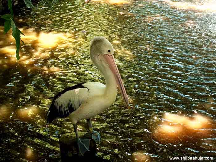 pelican_bird_big_beak_exotic_cairns_tropical_zoo_queensland_australia_tourism_trip_travel_planning_things_to_do_activities_pond_lake