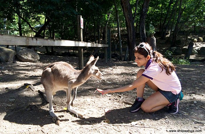 shilpa_ahuja_kangaroo_feeding_cairns_tropical_zoo_queensland_australia_tourism_trip_travel_planning_things_to_do_activities_animal_guide