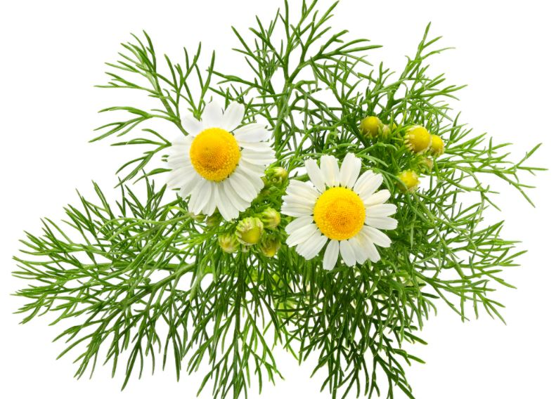 chamomile-best-essential-oils-for-sleep