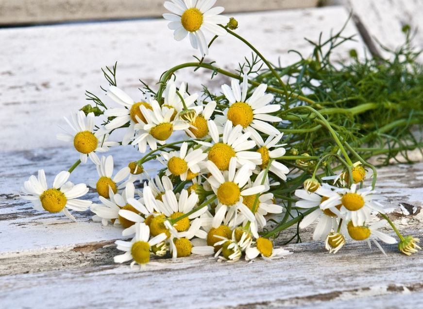 chamomile-oil-best-essential-oils-for-muscle-pain-relieving