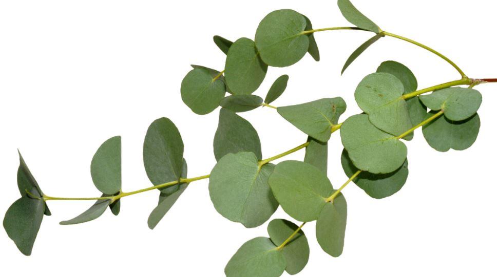 eucalyptus-best-essential-oils-for-muscle-pain-headache