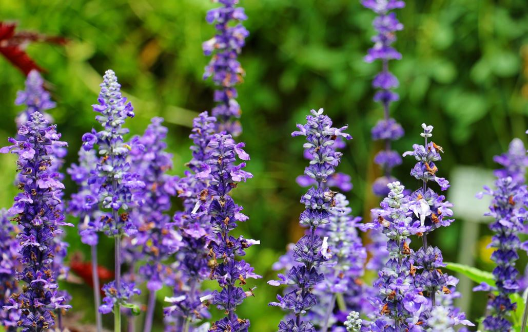 lavender-oil-essential-oils-for-muscle-pain-anti-inflammatory