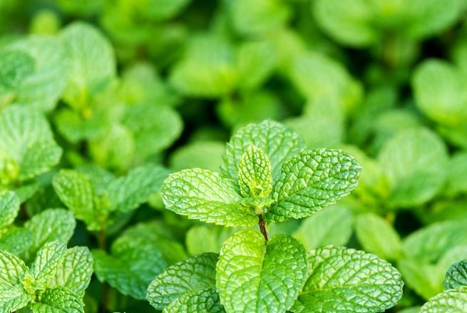 peppermint-best-essential-oils-for-hair-growth