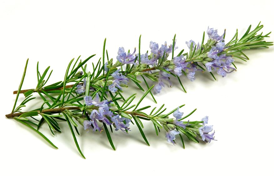 rosemary-best-essential-oils-for-food-grade