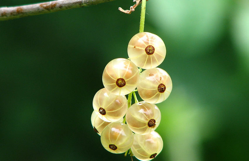 gooseberry-health-benefits-list-of-berries-healthy-food