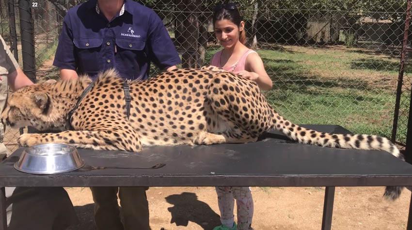maholoholo-rehab-centre-cheetah-petting-south-africa-shilpa-ahuja-peta-india