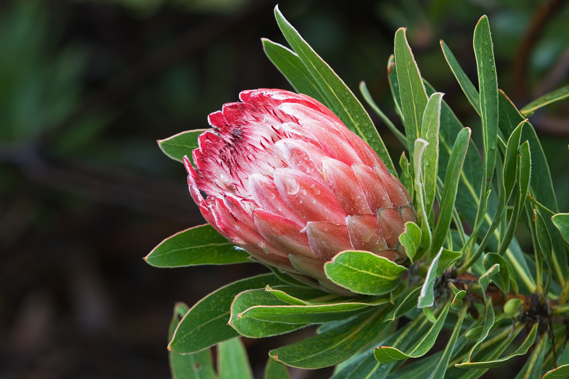 amazing-beautiful-flowers-around-the-world-king-protea-south-africa-love-colorful-colors-ideas-blossom