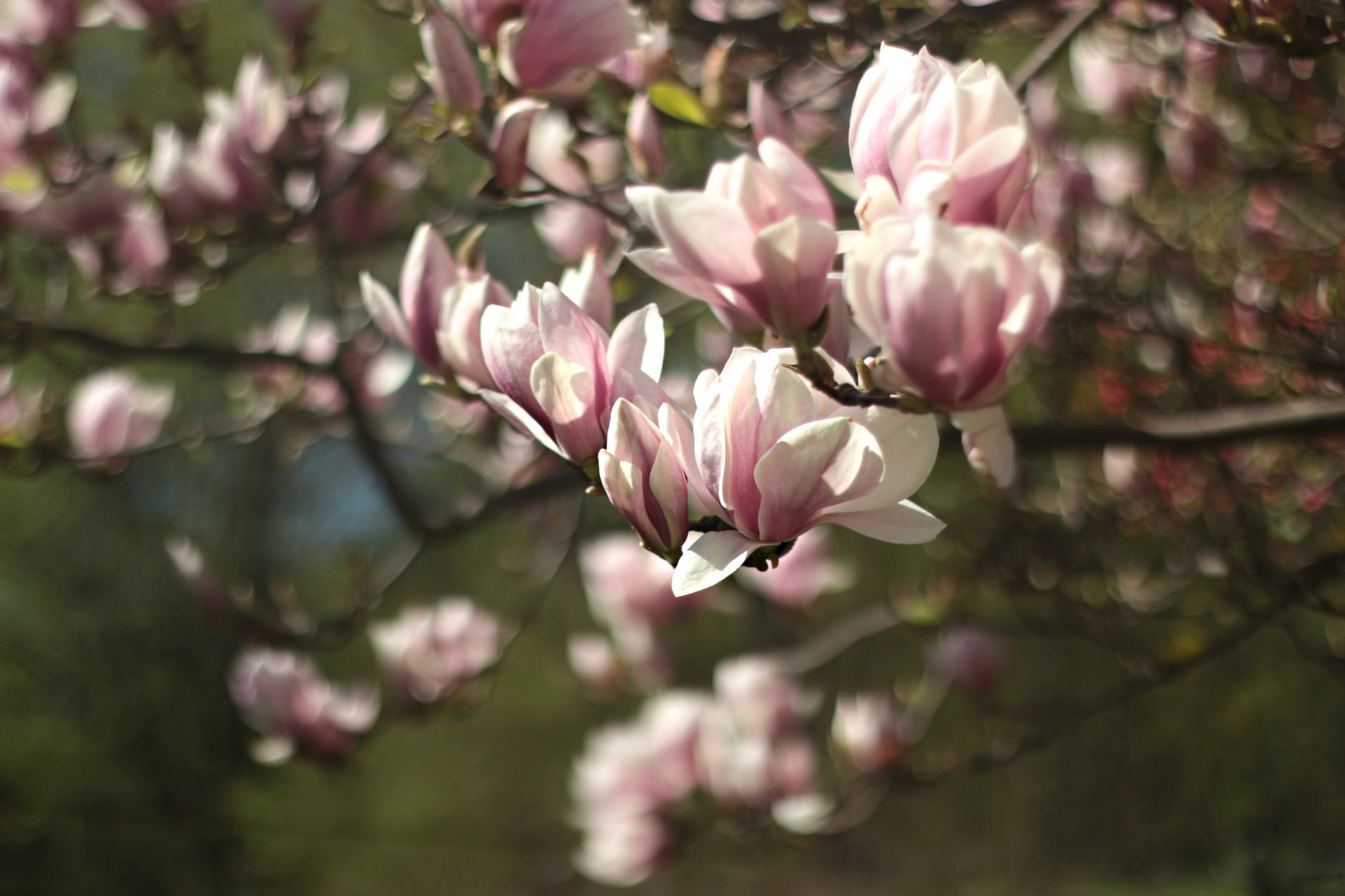 magnolia-top-beautiful-flowers-around-the-world-colorful-buds-colors-ideas-blossom