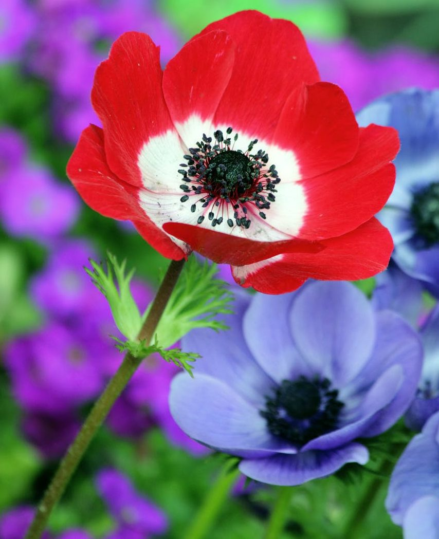 top-beautiful-flowers-around-the-world-colorful-buds-colors-ideas-blossom-anemone- coronaria-