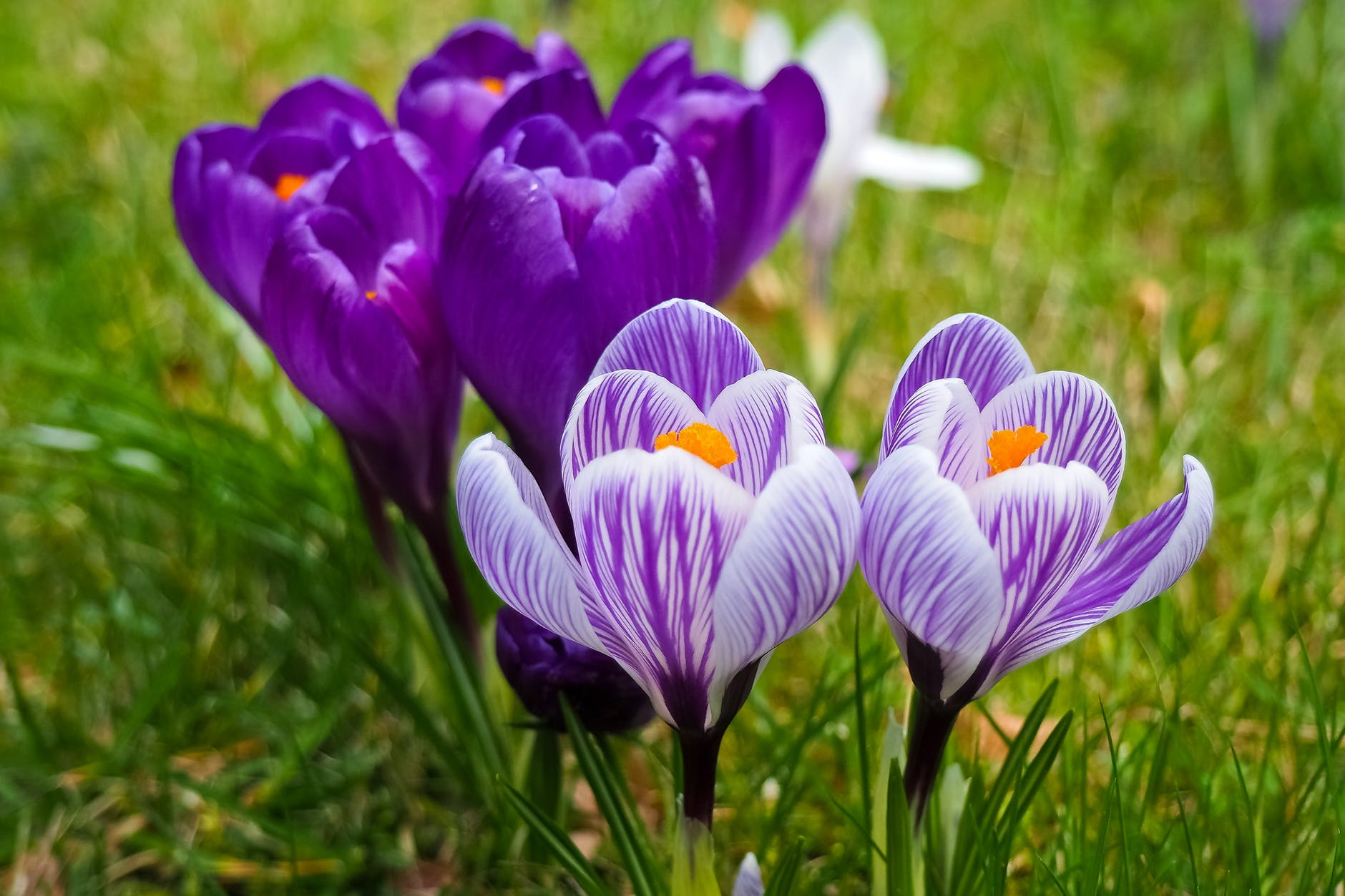 top-beautiful-flowers-around-the-world-colorful-buds-colors-ideas-blossom-crocus