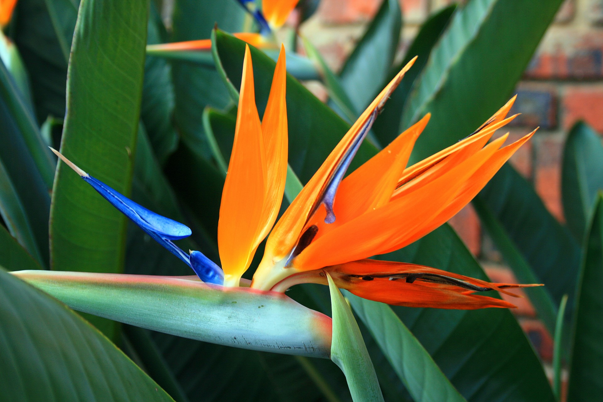 top-beautiful-flowers-around-the-world-colorful-colors-ideas-blossom-strelitzia-flower-bird of paradise