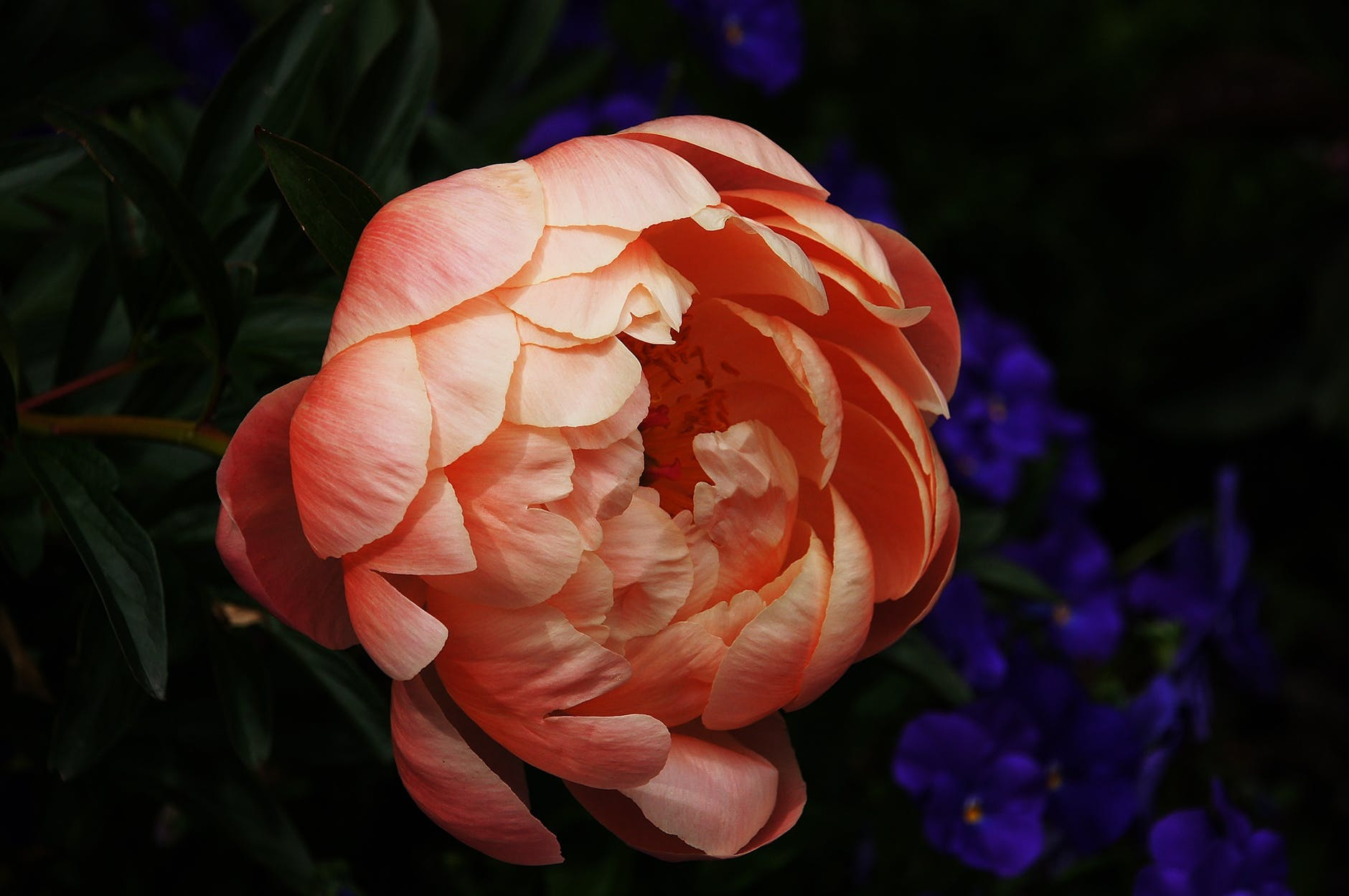 top-beautiful-flowers-around-the-world-peony-colorful-buds-colors-ideas-blossom