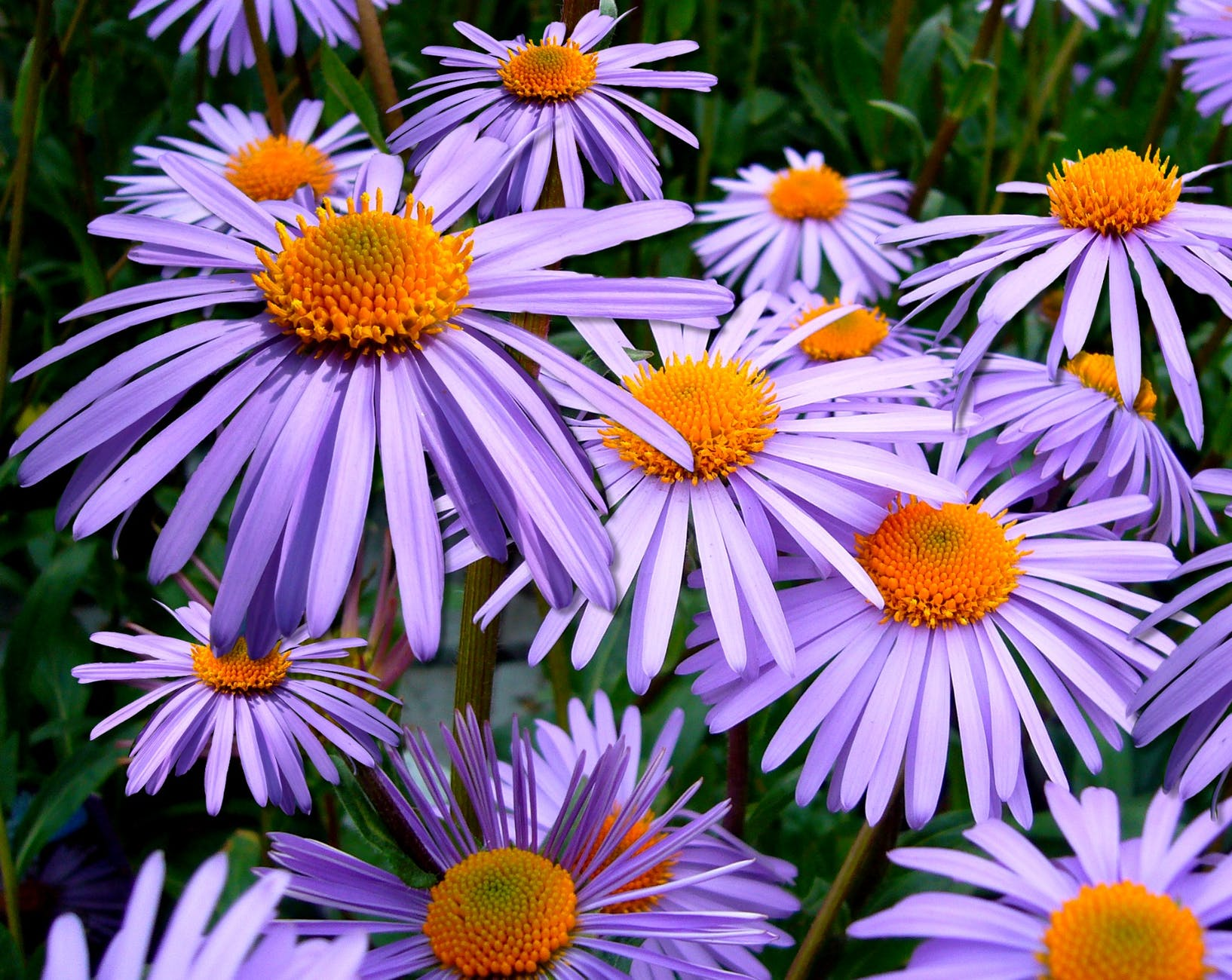 aster-novae-top-beautiful-flowers-around-the-world-colorful-buds-colors-ideas-blossom