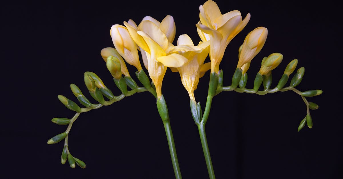 freesia-top-beautiful-flowers-around-the-world-colorful-buds-colors-ideas-blossom
