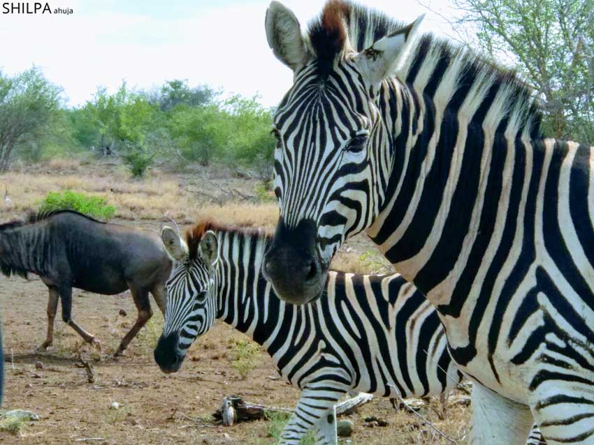 kruger-national-park-zebras-south-africa-wildlife